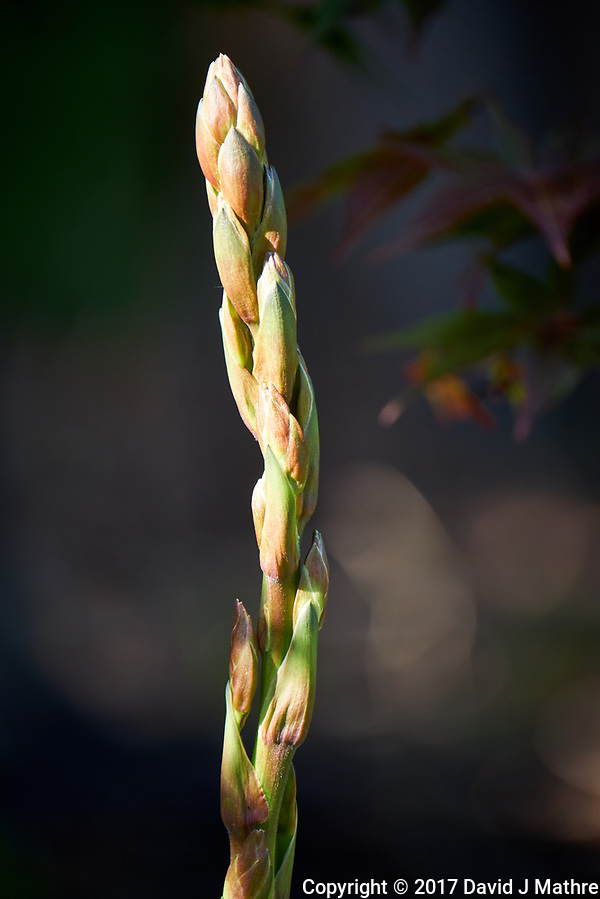 Yucca stalk with flower buds. Backyard spring nature in New Jersey. Image taken with a Fuji X-T2 camera  and 100-400 mm OIS lens (ISO 200, 400 mm, f/6.4, 1/90 sec). (© 2017 David J Mathre)