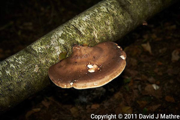 Tree Mushroom/Fungus on Fallen Birch Tree. Image taken with a Nikon D700 and 28-300 mm VR lens (ISO 200, 56 mm, f/5.6, 1/60 sec) and SB-900 flash. (David J Mathre)