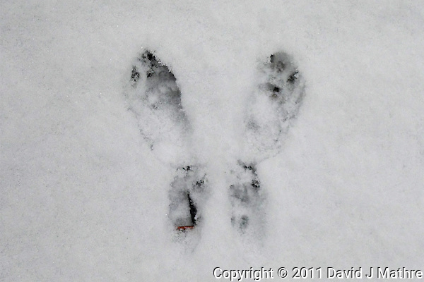 Rabbit Tracks in Fresh Snow. Winter in New Jersey. Image taken with a Leica D-Lux 5 camera (ISO 250, 13.9 mm, f/2.9, 1/100 sec) (David J Mathre)