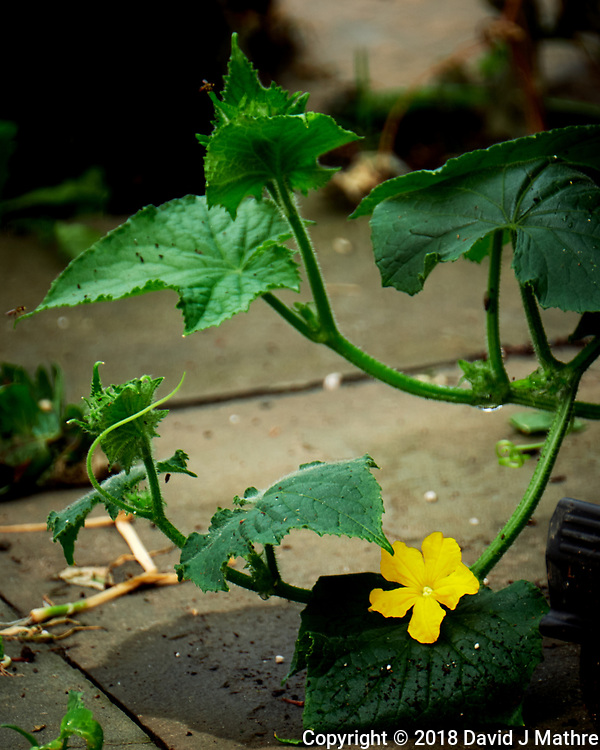 Yellow Cucumber Flower. Image taken with a Fuji X-T2 camera and 100-400 mm OIS telephoto zoom lens (David J Mathre)