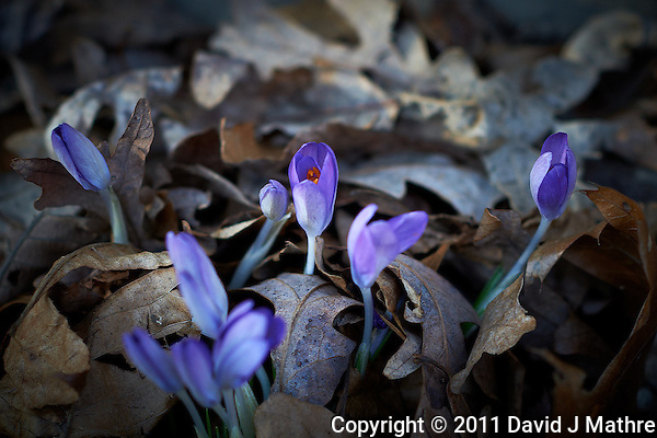 Late Winter Purple Crocuses. Image taken with a Nikon D3s and 85 mm f/1.4G lens (ISO 200, f/2.8, 1/200 sec.) (David J Mathre)
