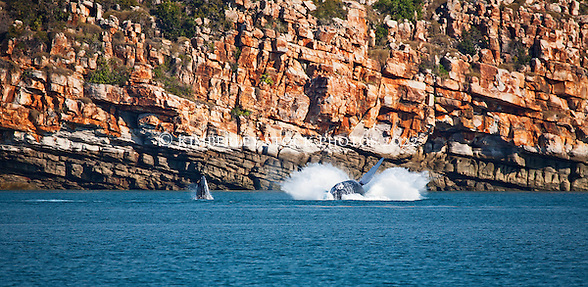 A humpback whale cow and calf breach at Wislon Point in Camden Sound on the Kimberley coast. (Annabelle Sandes/© Annabelle Sandes | Kimberley Media 2011)