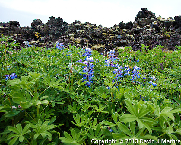 Lupins at the Edge of the Lava Field in Vestmannaeyjar, Iceland. Image taken with a Nikon 1 V2 camera and 6.7-13 mm VR lens (ISO 160, 6.7 mm, f/4, 1/500 sec). (David J Mathre)