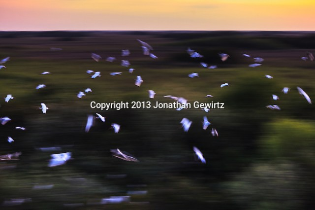 A flock of American White ibises (Eudocimus albus) flies toward the trees in which they will roost for the night in the Shark Valley section of Everglades National Park, Florida. (Jonathan Gewirtz   jonathan@gewirtz.net)