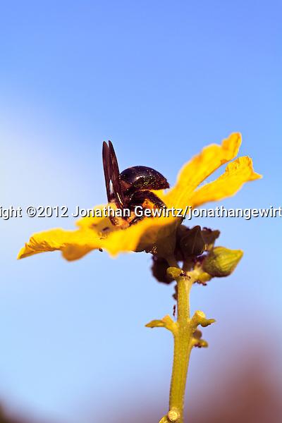 A Bumblebee (bombus) and ants gather pollen from a yellow flower. (© 2012 Jonathan Gewirtz / jonathan@gewirtz.net)