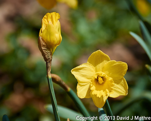 Yellow Daffodil in New Jersey. Image taken with a Nikon 1 V2 camera and 80-400 mm VRII lens with a FT1 adapter (ISO 160, 240 mm, f/5.6, 1/1250 sec). Field of view equivalent to 650 mm with a 35 mm sensor. (David J Mathre)