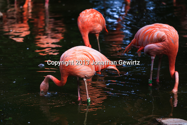 Pink flamingos (Phoenicopterus ruber) filter feeding in the Denver, Colorado zoo. (Jonathan Gewirtz   jonathan@gewirtz.net)