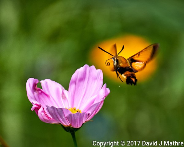 Clearwing Hummingbird Moth approaching a Pink Cosmos wildflower. Backyard summer nature in New Jersey. Image taken with a Fuji X-T2 camera and 100-400 mm OIS telephoto zoom lens (ISO 200, 400 mm, f/5.6, 1/500 sec). (© 2017 David J Mathre)