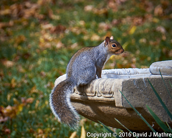 Squirrel on an Empty Fountain in my Backyard. Image taken with a Fuji X-T1 camera and 100-400 mm OIS lens (ISO 200, 400 mm, f/8, 1/80 sec). (David J Mathre)
