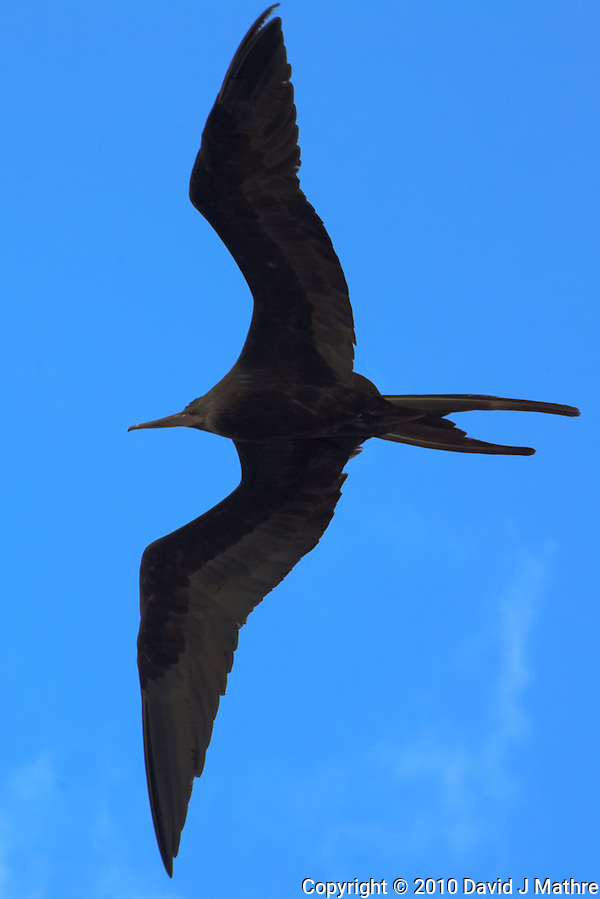 Magnificent Frigatebird over Willemstad, Curacao. Image taken with a Nikon D3s and 70-300 mm VR lens (ISO 450, 165 mm, f/10, 1/800 sec) (David J Mathre)