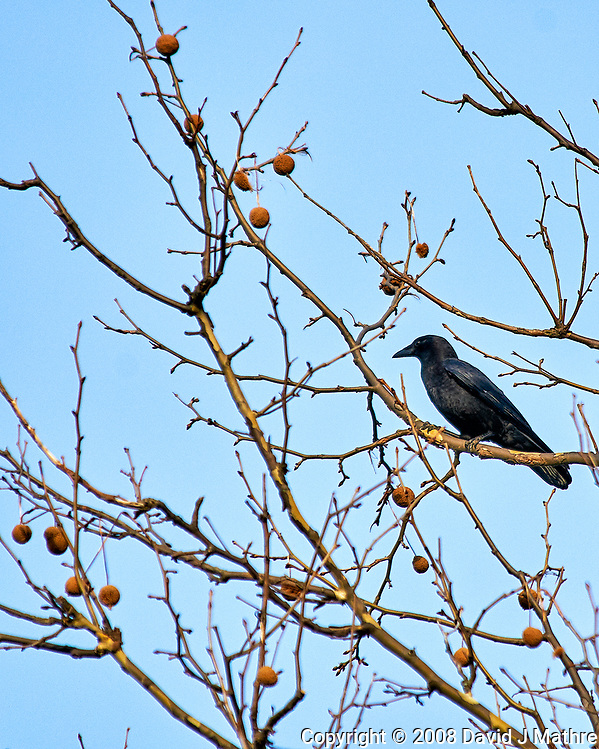 Crow in a sycamore tree. Late winter backyard nature in New Jersey. Image taken with a Nikon D300 camera and 80-400 mm VR lens (ISO 200, 400 mm, f/5.6, 1/800 sec). (David J Mathre)