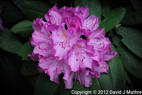 Cluster of Rhododendron Flowers. Image taken with a Nikon 1 V1 and 30-100 mm VR lens (ISO 400, 41.2 mm, f/4, 1/60 sec). Raw image processed with Photoshop CS6 (Adobe Camera Raw 7). (David J Mathre)