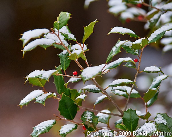 Holly tree and red berries after a light snow. Images taken with a Nikon D700 camera and 80-400 mm VR lens (ISO 1250, 230 mm, f/5.6, 1/400 sec) (David J Mathre)