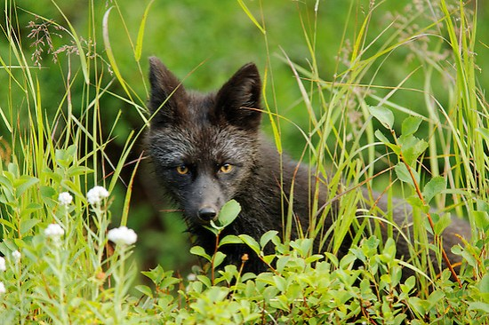 Black fox (dark phase of red fox, Vulpes Vulpes) standing in huckleberry, Paradise Valley, Mount Rainier National Park, Washington, USA (Copyright Brad Mitchell Photography.9601 Wall St.Snohomish, WA 98296.USA.425-418-7279.brad@bradmitchellphoto.com)