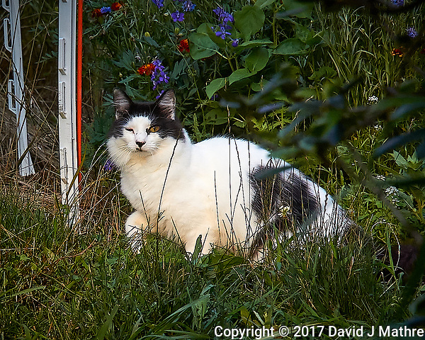 Tuffie the one-eyed cat caught hunting on the wrong side of the street. Backyard summer nature in New Jersey. Image taken with a Leica T camera and 55-135 mm lens (ISO 500, 135 mm, f/5.6, 1/400 sec). (David J Mathre)