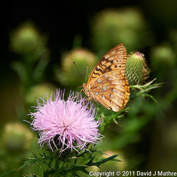Butterfly on Thistle Bloom. Sourland Mountain Preserve, Summer Nature in New Jersey. Image taken with a Nikon D700 and 28-300 mm VR lens (ISO 200, 300 mm, f/5.6, 1/640 sec). Raw image processed with Capture One Pro 6, Nik Define, and Photoshop CS5. (David J Mathre)