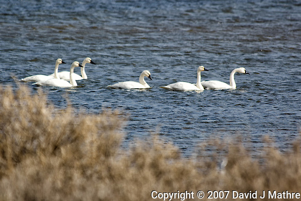 Tundra Swans. Arapaho National Wildlife Refuge. Image taken with a Nikon D2XS and 80-400 mm VR lens (ISO 100, 400 mm, f/5.6, 1/640 sec). Raw image processed with Capture One Pro 6, Photoshop CS5, Nik Define, Nik Color Efex Pro 2. (David J Mathre)