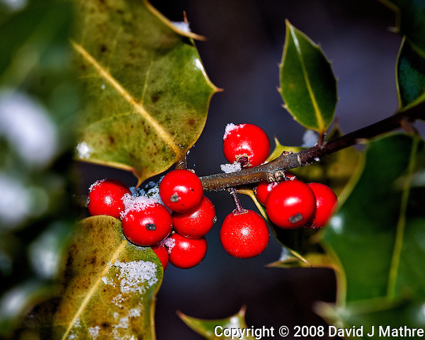 Light snow on Holly berries -- Winter backyard nature in New Jersey. Image taken with a Nikon D3 camera and 200 mm f/4 macro lens (ISO 200, 200 mm, f/8, 1/60 sec). (David J Mathre)