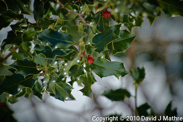 Holly and Berry in Winter. Image taken with a Nikon D3s and 70-200 mm VRII and TC-E 20 teleconverter (ISO 200, 400 mm f/5.6, 1/800 sec). (David J Mathre)