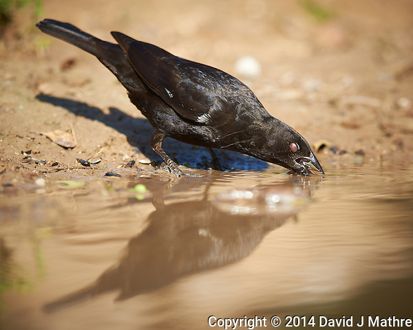 Bronzed Cowbird Drinking at Dos Vandas Ranch in Southern Texas. Image taken with a Nikon D800 camera and 400 mm f/2.8 VR lens (ISO 140, 400 mm, f/4, 1/800 sec). (David J Mathre)