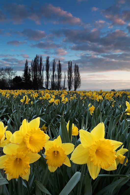 Dutch master daffodils bloom below a quiet sunset, Skagit Valley, Washington