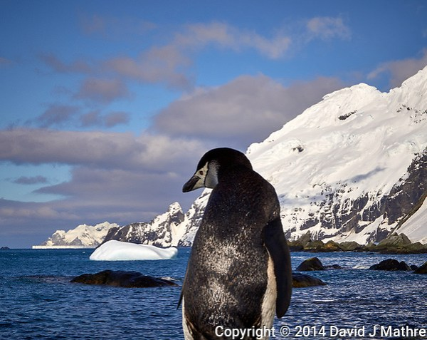 Chinstrap Penguin on Elephant Island. Image taken with a Leica T camera and 18-56 mm lens (ISO 100, 56 mm, f/16, 1/320 sec). Raw image processed with Capture One Pro, Focus Magic, and Photoshop CC. (David J Mathre)
