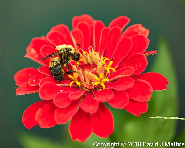 Bumble Bee on a Red Zinnia Flower. Image taken with a Fuji X-H1 camera and 80 mm f/2.8 macro lens (DAVID J MATHRE)