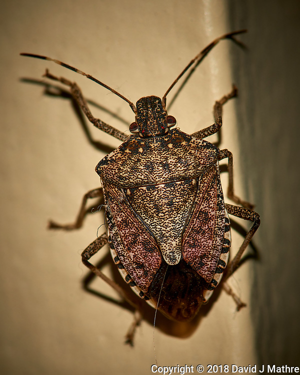 Brown Marmorated Stink Bug - Indoor Winter Nature. Image taken with a Nikon D810a camera and 105 mm f/2.8 VR macro lens (ISO 200, 105 mm, f/16, 1/60 sec) + popup flash. (David J Mathre)