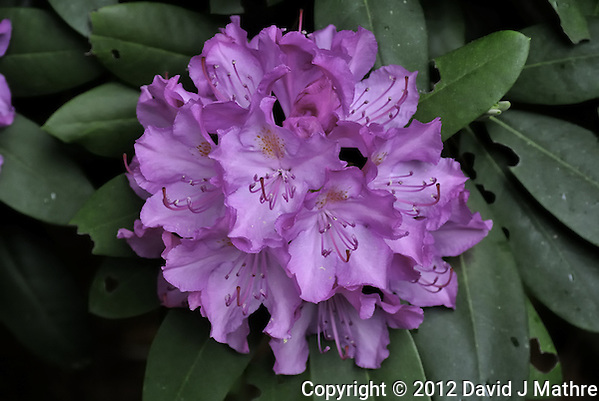 Cluster of Rhododendron Flowers. Image taken with a Nikon 1 V1 and 30-100 mm VR lens (ISO 400, 41.2 mm, f/4, 1/60 sec). Raw image processed with Nikon Capture NX2 (levels, noise reduction). (David J Mathre)