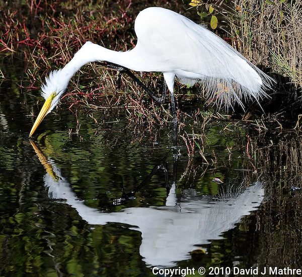 White Egret Fishing at Merritt Island National Wildlife Reserve. Image taken with an Nikon D3x and 300 mm f/2.8 VR lens (ISO 100, 300 mm, f/8, 1/320 sec). (David J Mathre)