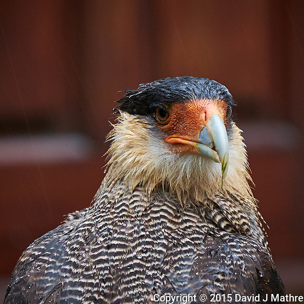 Crested Caracara at Hosteria Helsingfors in Patagonia (southern Argentina). Image taken with a Fuji X-T1 camera and 55-200 mm lens (ISO 800, 200 mm, f/4.8, 1/30 sec). Raw image processed with Capture One Pro, Focus Magic, and Photoshop CC. (David J Mathre)