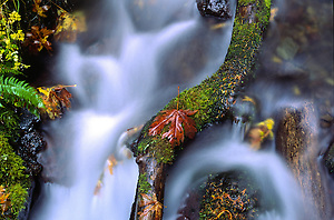 Fallen Maple Leaf on Fallen Log in Stream, Columbia River Gorge National Scenic Area, Oregon, US (Roddy Scheer)