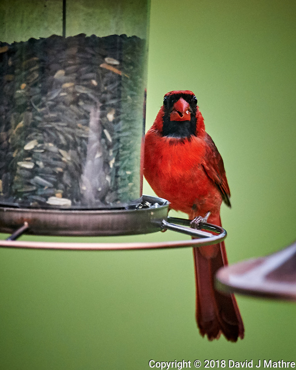 Male Northern Cardinal. Image taken with a Nikon D4 camera and 600 mm f/4 VR telephoto lens (DAVID J MATHRE)