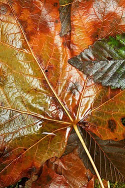 Wet autumn leaves, Washington Cascade Mountains