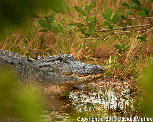 Alligator at Merritt Island Wildlife Reserve in Florida. Black Point Wildlife Drive. Image taken with a Nikon D3x and 600 mm f/4 VRII lens (ISO 200, 600 mm, f/4, 1/125 sec). (David J Mathre)