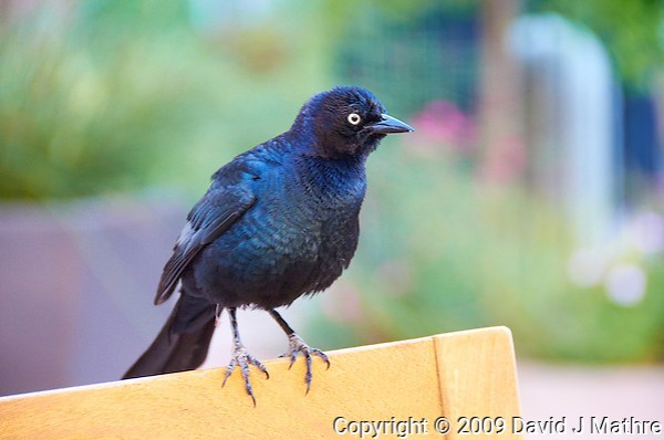 Grackle. Image taken in South San Francisco, California. Image taken with a Nikon D300 and 18-200 mm VR lens (ISO 1600, 135 mm, f/5.6, 1/160 sec). (David J Mathre)