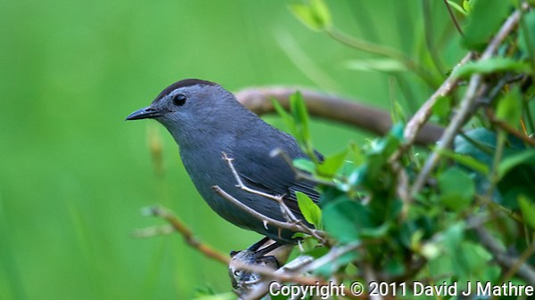 Grey Catbird. Early Summer Nature in New Jersey. Image taken with a Nikon D300 and 600 mm f/4 lens (ISO 250, 600 mm, f/4, 1/200 sec). Raw image processed with Capture One Pro 6, Focus Magic, Nik Define 2, and Photoshop CS5. (David J Mathre)