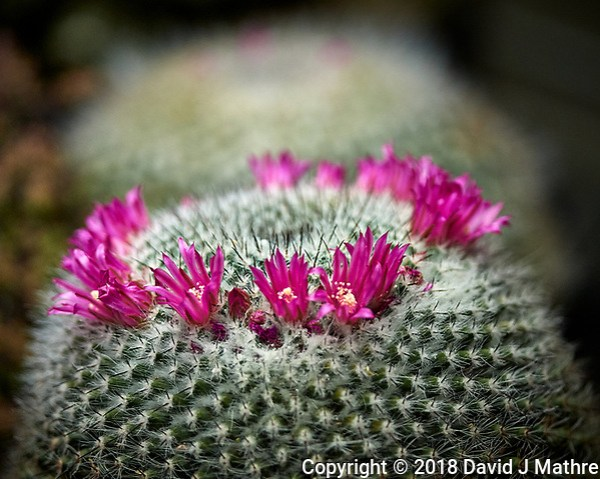 Pink indoor cactus flowers. Image taken with a Nikon D5 camera and 300 mm f/4 telephoto lens (ISO 100, 300 mm, f/9, 1/320 sec) (David J Mathre)