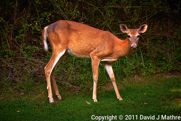 Wary Doe Looking at Me. Summer Backyard Nature in New Jersey. Image taken with a Leica D-Lux 5 camera (ISO 200, 19.2 mm, f/3.3, 1/125 sec). Raw image processed with Capture One Pro 6 and Photoshop CS5. (David J Mathre)