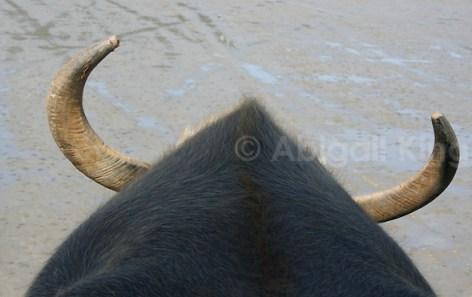 water buffalo in Yaeyama Islands Okinawa Japan