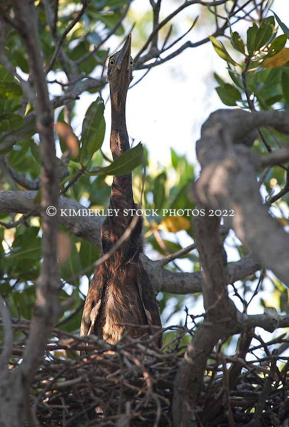 A Great billed heron chick (Ardea sumatrana) in the mangroves on Augustus Island on the Kimberley coast.  The herons are listed as 'least concern' although they are vulnerable to mangrove habitat degredation. (Annabelle Sandes/© Annabelle Sandes | Kimberley Media 2011)