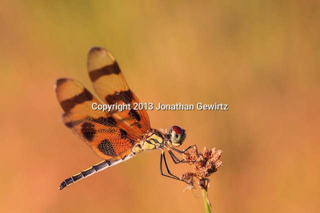 Closeup view of a Halloween Pennant (Celithemis eponina) dragonfly perched on a plant stalk in the Shark Valley Section of Everglades National Park, Florida. (Jonathan Gewirtz   jonathan@gewirtz.net)
