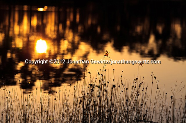 Dragonflies alight on grass stalks as the morning sun rises in the background on the lake at Long Pine Key campground in Everglades National Park, Florida. (© 2012 Jonathan Gewirtz / jonathan@gewirtz.net)