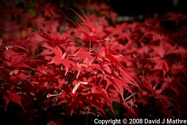 Fall Maple Leaves. Image taken with a Nikon D700 and 50 mm f/1.4 lens (ISO 200, 50 mm, f/5.6, 1/400 sec). (David J. Mathre)