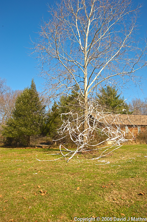 Toilet Papered Tree. Image taken with Nikon D2xs and 18-200 mm VR lens. (David J Mathre)