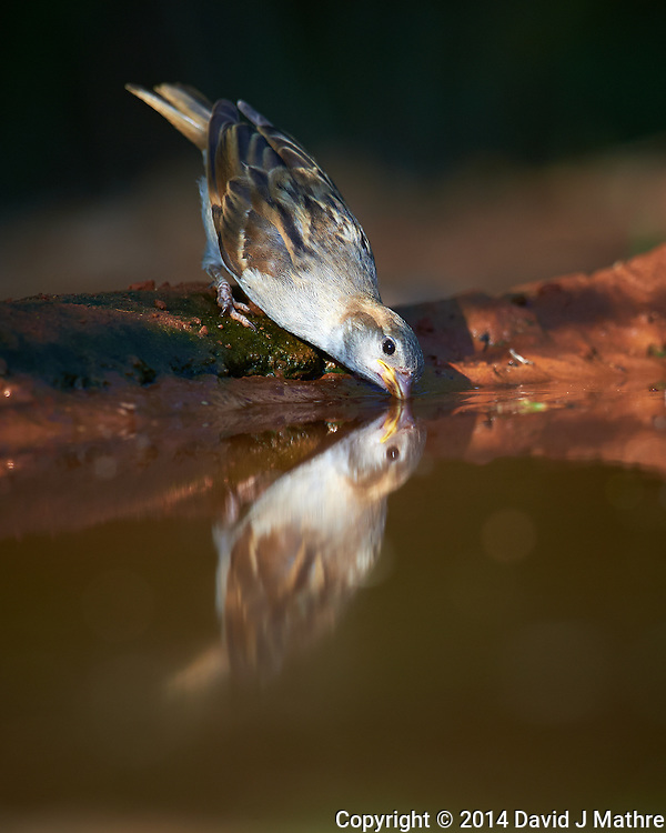House Sparrow (?) and Reflection Taking a Drink in a Pond at Campos Viejos Ranch in Southern Texas. Image taken with a Nikon D4 camera and 600 mm f/4 VR lens (ISO 500, 600 mm, f/5.6, 1/1000 sec). (David J Mathre)