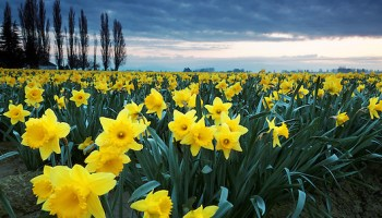 Daffodils blooming on a Washington Bulb Company farm in the Skagit Valley, Washington