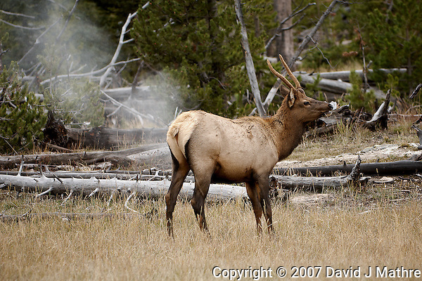 Elk Passing Gas. Yellowstone National Park. Image taken with a Nikon D2Xs and 200-400 f/4 VR lens (ISO 100, 200 mm, f/4, 1/125 sec). (David J Mathre)