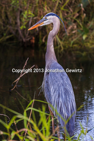 A Great Blue Heron (Ardea herodias) stalking fish in a canal in the Shark Valley section of Everglades National Park, Florida. (Jonathan Gewirtz   jonathan@gewirtz.net)