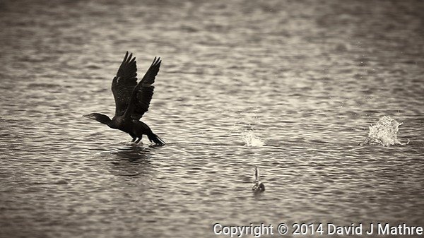 Cormorant Taking Off. Biolab Road in Merritt Island National Wildlife Refuge. Image taken with a Nikon D4 camera and 600 mm f/4 VR lens (ISO 360, 600 mm, f/5.6, 1/1250 sec). Raw image processed and converted to B&W with Capture One Pro 7. (David J Mathre)